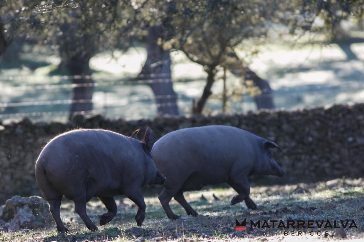 Cerdo ibérico: Principales características de esta raza porcina